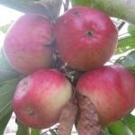 Описание сорта яблони Приморское