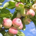 Описание сорта яблони Приземленное