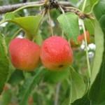 Описание сорта яблони Ранетка Ермолаева