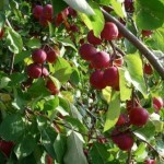 Описание сорта яблони Ранетка пурпуровая