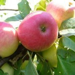 Описание сорта яблони Раннее алое