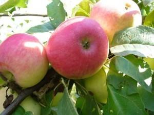 описание яблони горнист фото и описание сорта
