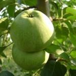 Описание сорта яблони Ренет кавказский