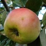 Описание сорта яблони Ренет окрашенный