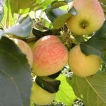 Описание сорта яблони Ренет татарский