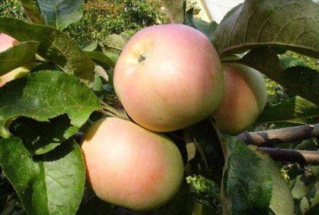 золотой ранет яблоня описание фото отзывы
