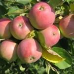 Описание сорта яблони Северный синап