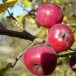 Описание сорта яблони Сеянец Кравченко