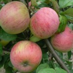 Описание сорта яблони Шафран саратовский