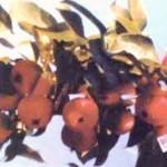 Описание сорта яблони Слава Бурятии (Байкал изобильный)