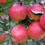 Описание сорта яблони Слава переможцам (Слава победителям)
