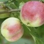 Описание сорта яблони Смугляночка