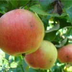 Описание сорта яблони Соколовское