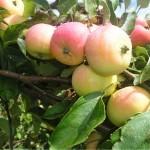 Описание сорта яблони Спартак