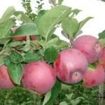 Описание сорта яблони Спартан