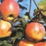 Описание сорта яблони Старт