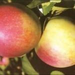 Описание сорта яблони Строевское