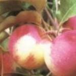 Описание сорта яблони Стройное