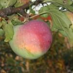 Описание сорта яблони Студенческое