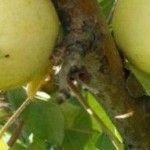 Описание сорта яблони Светлое