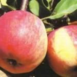 Описание сорта яблони Свежесть