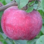 Описание сорта яблони Терентьевка