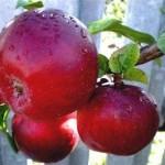 Описание сорта яблони Тубинское (Восточное)