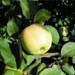 Описание сорта яблони Уральское наливное