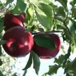Описание сорта яблони Успенское
