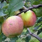 Описание сорта яблони Утес
