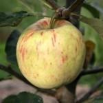 Описание сорта яблони Яблочный спас