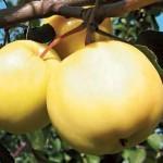 Описание сорта яблони Янтарь