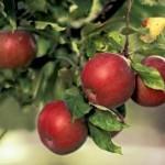 Описание сорта яблони Янтарка алтайская