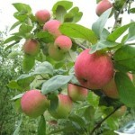 Описание сорта яблони Юбиляр