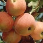 Описание сорта яблони Зарево