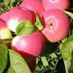 Описание сорта яблони Заветное