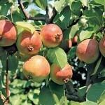 Описание сорта яблони Жар-птица