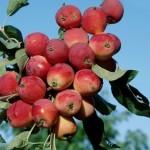Описание сорта яблони Жебровское