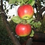 Описание сорта яблони Жигулевское
