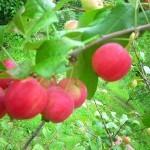 Описание сорта яблони Живинка