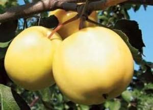 foto-sorta-yabloni-zhyoltoe-rebristoe
