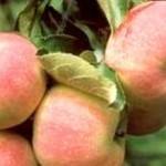 Описание сорта яблони Зимний шафран
