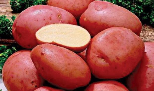 sort-kartofelya-alena