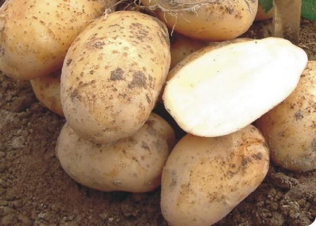 sort-kartofelya-artemis
