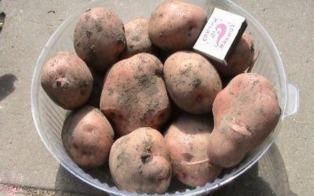 sort-kartofelya-bryanskij-nadyozhnyj