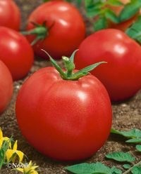 foto-sorta-tomata-pomidora-adaptor