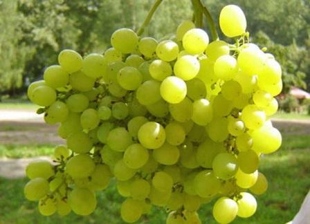 foto-sorta-vinograda-alyoshenkin