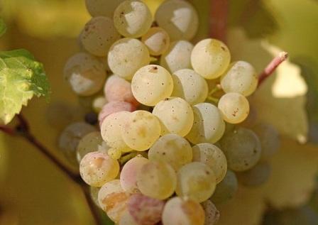 foto-sorta-vinograda-anapskij-ustojchivyj