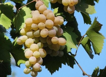 foto-sorta-vinograda-bianka-1
