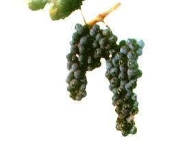 foto-sorta-vinograda-dostojnyj